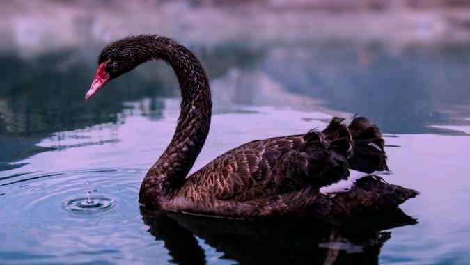 black_swan_bg_0