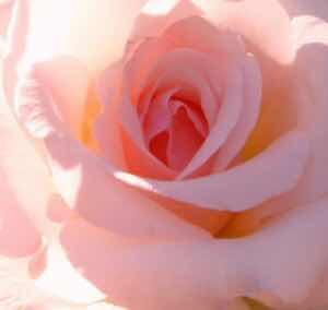 5BUNSET5D-rose