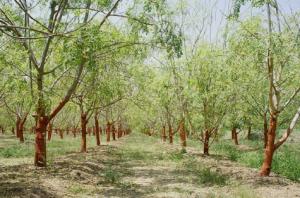 Moringa-arbres