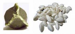 Moringa-graines