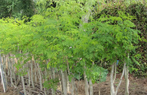 coppiced-moringa-nutrition