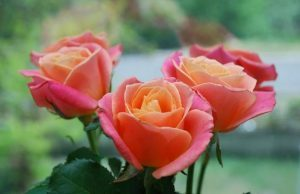 fleurs-Roses-